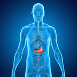 Stomach Stock Image