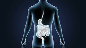Human Stomach and Intestine with Body stock footage