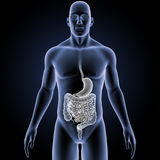 Stomach and Intestine with Body Anterior view Royalty Free Stock Image