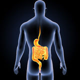 Stomach and Intestine with Body Posterior view Royalty Free Stock Photography
