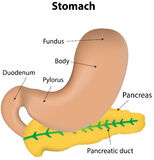 Stomach and Pancreas Labeled Diagram Royalty Free Stock Photo