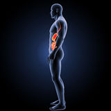 Stomach and small intestine with body lateral view Stock Photography