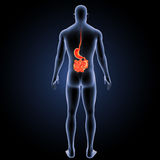 Stomach and small intestine with body posterior view Royalty Free Stock Image