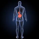Stomach and small intestine with circulatory system posterior view Stock Images