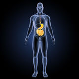 Stomach and small intestine with organs anterior view Royalty Free Stock Photography