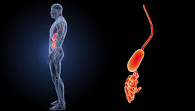Stomach and small intestine zoom with anatomy lateral view. The internal organ in which the major part of the digestion of food occurs, being in humans and many Royalty Free Stock Photography