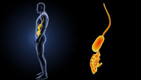 Stomach with small intestine zoom with body lateral view Royalty Free Stock Image