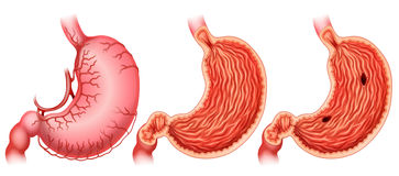 Stomach Stock Photography