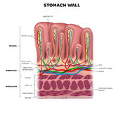 Stomach wall Royalty Free Stock Photography