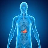 stomaco Immagine Stock