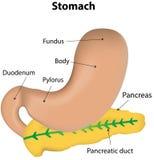 Stomaco e diagramma identificato pancreas Fotografia Stock Libera da Diritti
