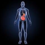 Stomaco e intestino tenue con la vista anteriore degli organi Fotografia Stock Libera da Diritti