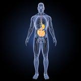 Stomaco e intestino tenue con la vista anteriore di anatomia Fotografie Stock Libere da Diritti