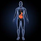 Stomaco e intestino tenue con la vista anteriore di scheletro Fotografia Stock