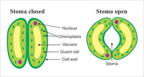 stomata royaltyfri illustrationer