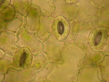 Stomata on a Leaf Royalty Free Stock Photo