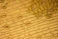 Stomata - optical microscopy. Stomata in optical microscopy - leaf (epidermis exfoliated) Iris germanica Stock Photo