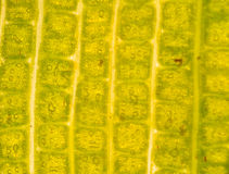 Stomata in the plant leaf Stock Photo