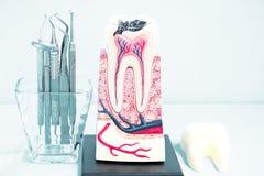 Stomatologiczni narzędzia i ząb anatomia Zdjęcia Stock