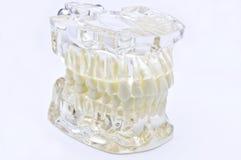 stomatologiczny model fotografia royalty free