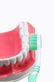 stomatologiczny model Obraz Royalty Free