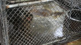 Stomp-de steel verwijderde van aap macaque het voelen van het boze lopen in kooi stock videobeelden