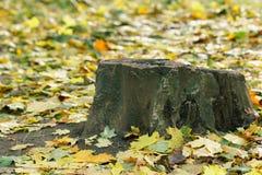 Stomp en de herfst kleurrijke kleurrijke esdoornbladeren in het park Royalty-vrije Stock Foto's