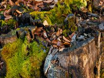 Stomp met groen mos in het bos stock afbeelding