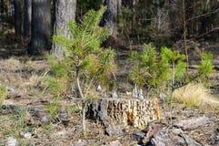 Stomp met kleine pijnboom-bomen Stock Afbeeldingen