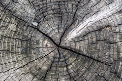 Stomp tree texture. Top view of old stomp tree textured background Royalty Free Stock Photo