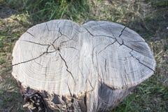 Stomp van een boom met een dubbele boomstam stock fotografie