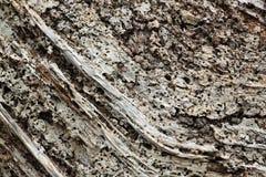 Stomp van rot hout Stock Fotografie