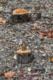 Stompen van oude bomen stock afbeelding