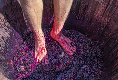 Stomping grapes - man`s feet with hairy legs in wooden barrel with smushed up grapes stock photography