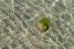 Stone with alga at the sandy bottom of sea Royalty Free Stock Photos