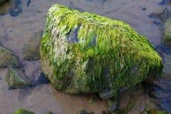 Stone with algae Royalty Free Stock Photo