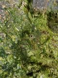 Stone in algae and shells royalty free stock photography