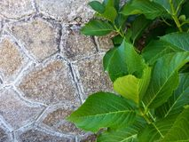 Stone background. Old stone background with green plant leaves Stock Image