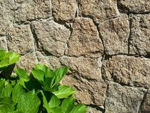 Stone background. Old stone background with green plant leaves Royalty Free Stock Images