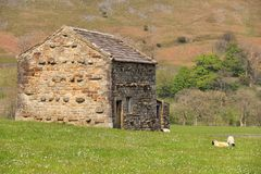 Stone Barn, Muker, Yorkshire Dales, UK. Traditional stone field barn in the village of Muker, Swaledale, UK. Tranquil pastoral scene with grazing sheep. A Stock Photos