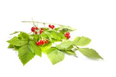 Stone bramble with berries branches on white. Russian Stone bramble branches with berries on white background stock photography