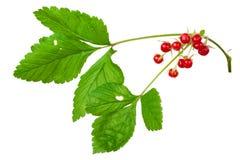 Stone Bramble (Rubus saxatilis) berry Royalty Free Stock Photography