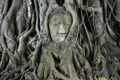 Stone budda head traped in the tree roots Stock Image