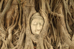 Stone budda head traped in the tree roots at Wat Mahathat, Thail Stock Image