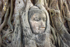 Stone Budda head in the tree roots Stock Photography