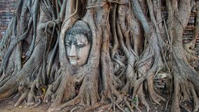 Stone budda head in the tree roots. Royalty Free Stock Photos