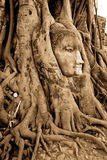 Stone budda head in the tree roots Royalty Free Stock Images