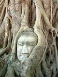 A stone Buddha head entwined within the tree roots Royalty Free Stock Image