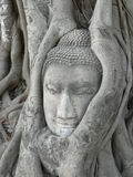 Stone Buddha head surrounded by tree roots. This stone Buddha head at Wat Phra Mahatat in Ayutthaya in Thailand has been surrounded by the roots of a banyan tree Royalty Free Stock Image
