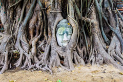 Stone buddha head in the tree roots, Ayutthaya is old capital of Royalty Free Stock Images
